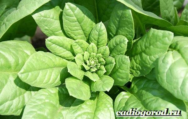 Шпинат-растение-Выращивание-шпината-Уход-за-шпинатом-9