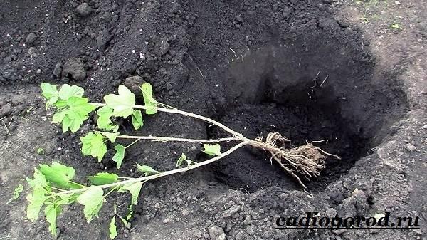 Смородина-ягода-Выращивание-смородины-Уход-за-смородиной-10