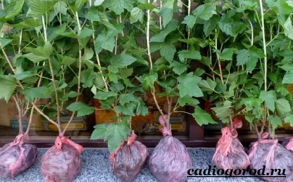 Смородина-ягода-Выращивание-смородины-Уход-за-смородиной-22