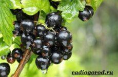 Смородина ягода. Выращивание смородины. Уход за смородиной