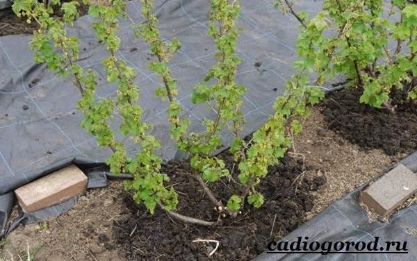 Смородина-ягода-Выращивание-смородины-Уход-за-смородиной-5