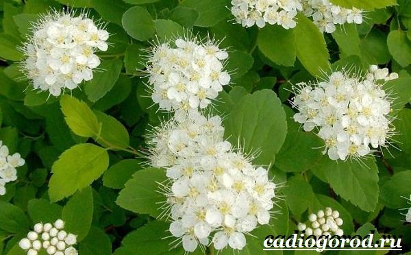 Спирея-цветок-Описание-особенности-виды-и-уход-за-спиреей-10