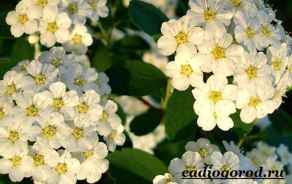 Спирея-цветок-Описание-особенности-виды-и-уход-за-спиреей-14