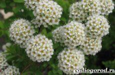 Спирея цветок. Описание, особенности, виды и уход за спиреей