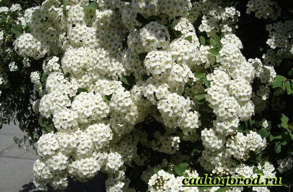 Спирея-цветок-Описание-особенности-виды-и-уход-за-спиреей-2