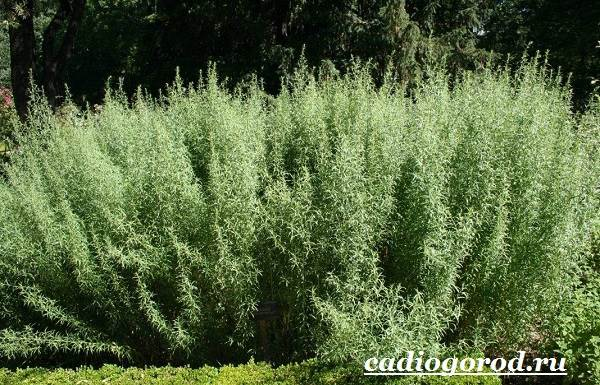 Тархун-трава-Описание-свойства-виды-и-уход-за-тархуном-12