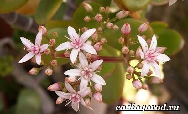 Толстянка-денежное-дерево-Описание-посадка-и-уход-за-тостянкой-денежным-деревом-17