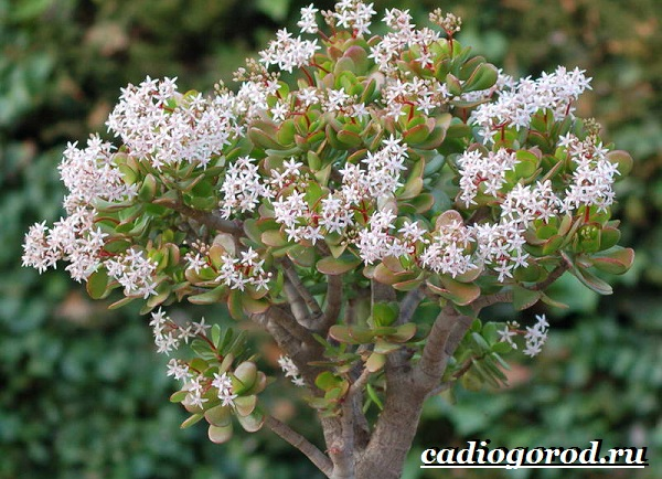 Толстянка-денежное-дерево-Описание-посадка-и-уход-за-тостянкой-денежным-деревом-20