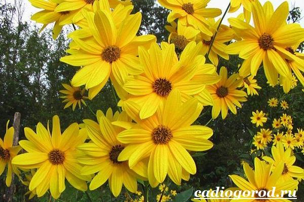 Топинамбур-растение-Выращивание-топинамбура-Уход-за-топинамбуром-2