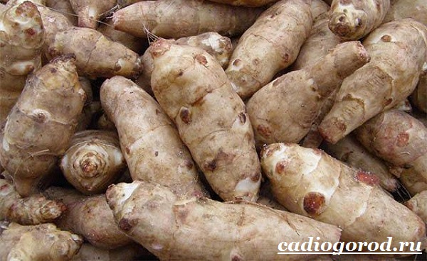 Топинамбур-растение-Выращивание-топинамбура-Уход-за-топинамбуром-8
