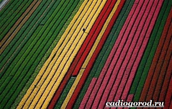 Тюльпан-цветок-Выращивание-тюльпанов-Уход-за-тюльпанами-16