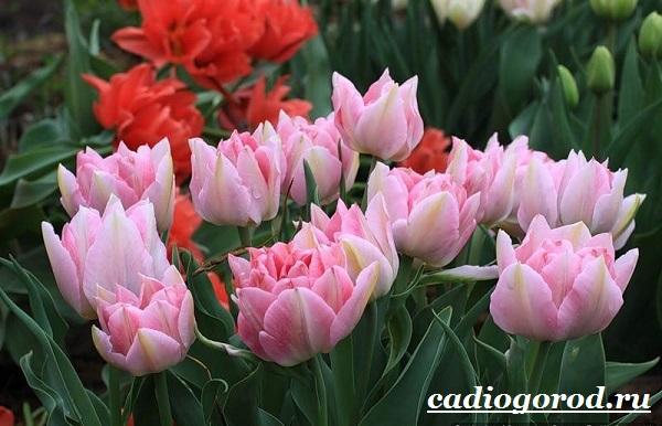 Тюльпан-цветок-Выращивание-тюльпанов-Уход-за-тюльпанами-8