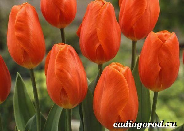 Тюльпан-цветок-Выращивание-тюльпанов-Уход-за-тюльпанами-9