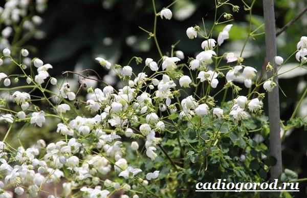 Василистник растение. Описание, особенности, виды и уход за василистником-12
