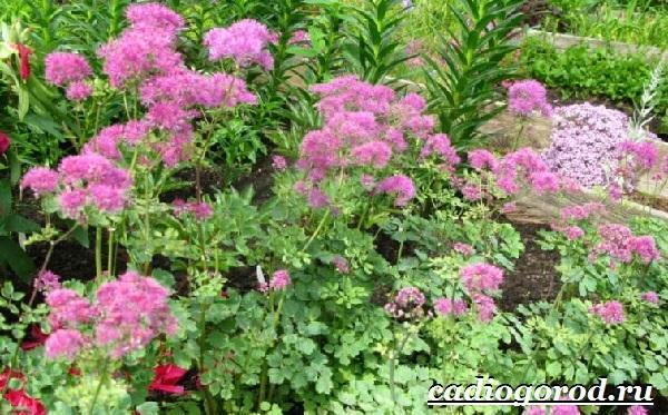 Василистник растение. Описание, особенности, виды и уход за василистником-17