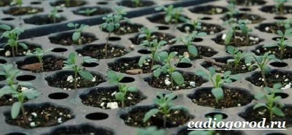 Василистник растение. Описание, особенности, виды и уход за василистником-20