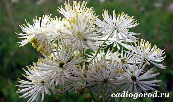 Василистник растение. Описание, особенности, виды и уход за василистником-21