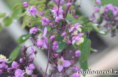 Василистник растение. Описание, особенности, виды и уход за василистником