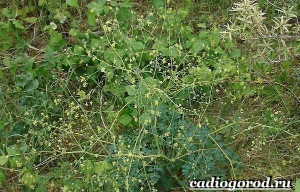 Василистник растение. Описание, особенности, виды и уход за василистником-9