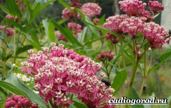 Ваточник-цветок-Описание-особенности-уход-и-виды-ваточника-12