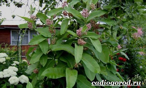 Ваточник-цветок-Описание-особенности-уход-и-виды-ваточника-13