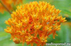 Ваточник цветок. Описание, особенности, уход и виды ваточника