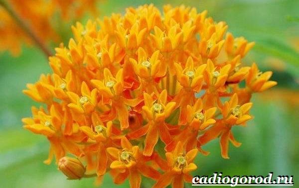 Ваточник-цветок-Описание-особенности-уход-и-виды-ваточника-3