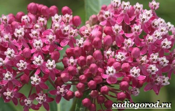 Ваточник-цветок-Описание-особенности-уход-и-виды-ваточника-7