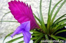 Вриезия цветок. Описание, особенности, виды и уход за вриезией