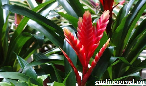 Вриезия-цветок-Описание-особенности-виды-и-уход-за-вриезией-15
