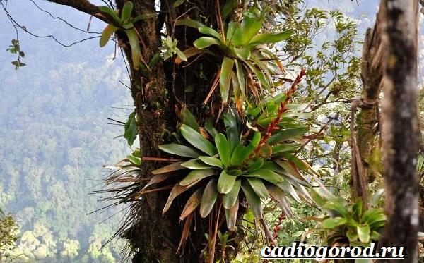 Вриезия-цветок-Описание-особенности-виды-и-уход-за-вриезией-17