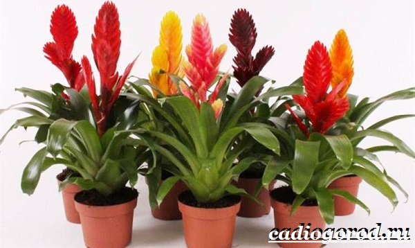 Вриезия-цветок-Описание-особенности-виды-и-уход-за-вриезией-2