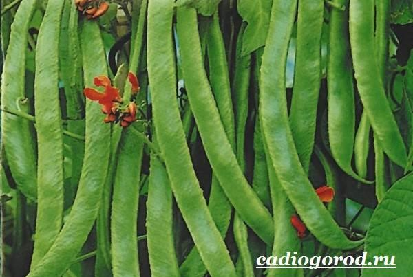 Выращивание-фасоли-Как-и-когда-сажать-фасоль-Уход-за-фасолью-12