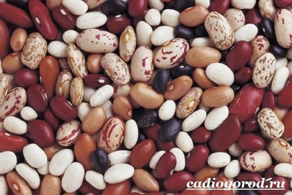 Выращивание-фасоли-Как-и-когда-сажать-фасоль-Уход-за-фасолью-18
