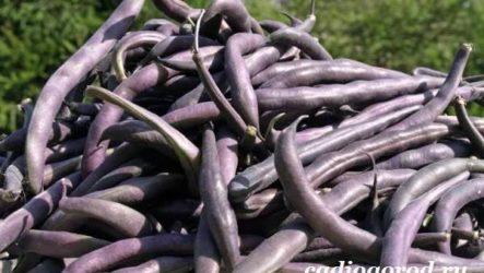 Выращивание фасоли. Как и когда сажать фасоль? Уход за фасолью