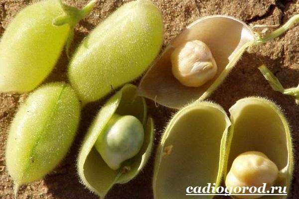 Выращивание-гороха-Как-и-когда-сажать-горох-Уход-за-горохом-1