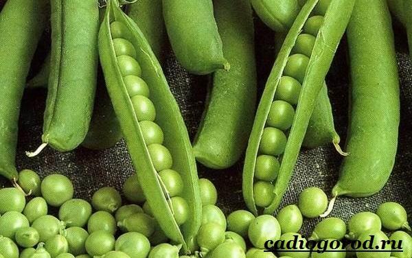 Выращивание-гороха-Как-и-когда-сажать-горох-Уход-за-горохом-6