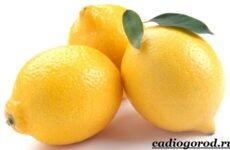 Выращивание лимона. Как вырастить лимон в домашних условиях? Уход за лимоном