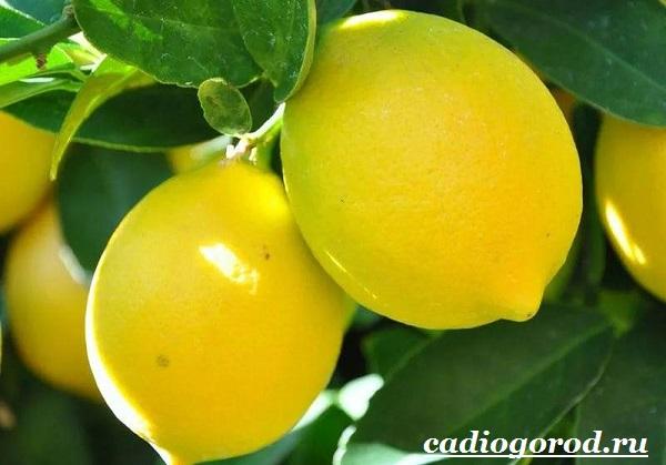 Выращивание-лимона-Как-вырастить-лимон-в-домашних-условиях-Уход-за-лимоном-19