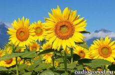 Выращивание подсолнечника. Как и когда сажать подсолнечник? Уход за подсолнечником