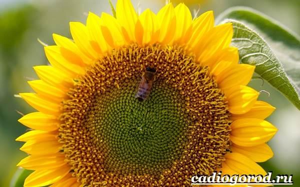 Выращивание-подсолнечника-Как-и-когда-сажать-подсолнечник-Уход-за-подсолнечником-21