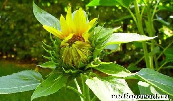 Выращивание-подсолнечника-Как-и-когда-сажать-подсолнечник-Уход-за-подсолнечником-22