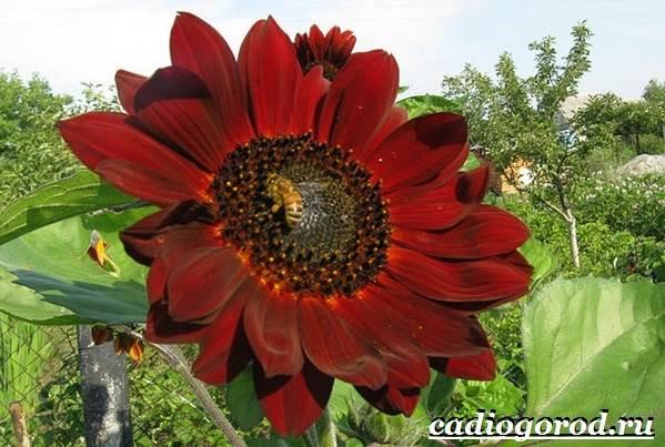 Выращивание-подсолнечника-Как-и-когда-сажать-подсолнечник-Уход-за-подсолнечником-41