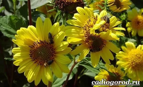 Выращивание-подсолнечника-Как-и-когда-сажать-подсолнечник-Уход-за-подсолнечником-43