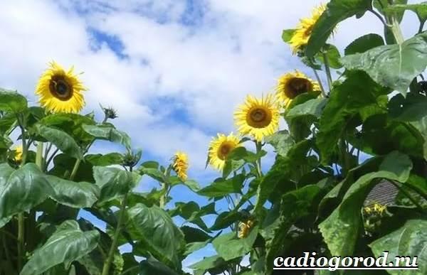 Выращивание-подсолнечника-Как-и-когда-сажать-подсолнечник-Уход-за-подсолнечником-46