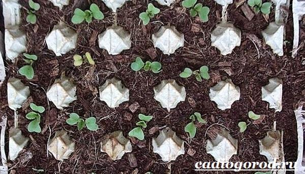 Выращивание-редиски-Как-и-когда-сажать-редиску-Уход-за-редиской-15
