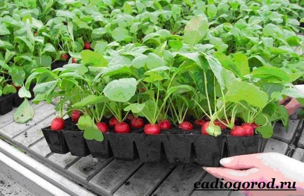 Выращивание-редиски-Как-и-когда-сажать-редиску-Уход-за-редиской-23