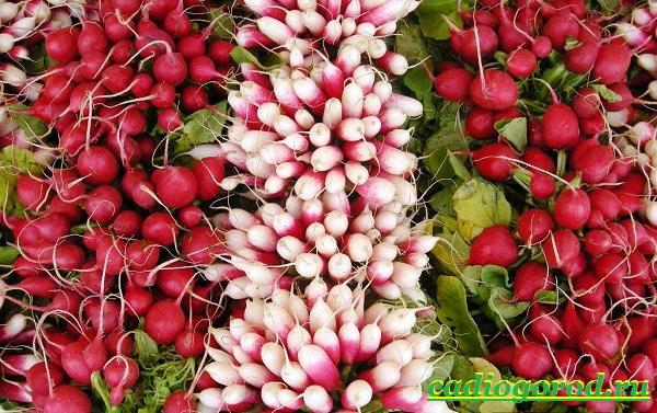 Выращивание-редиски-Как-и-когда-сажать-редиску-Уход-за-редиской-25