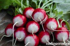 Выращивание редиски. Как и когда сажать редиску? Уход за редиской