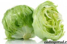 Выращивание салата. Как и когда сажать салат? Уход за салатом